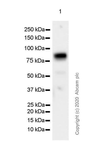Western blot - Anti-TAK1 antibody [EPR22903-57] - BSA and Azide free (ab270758)