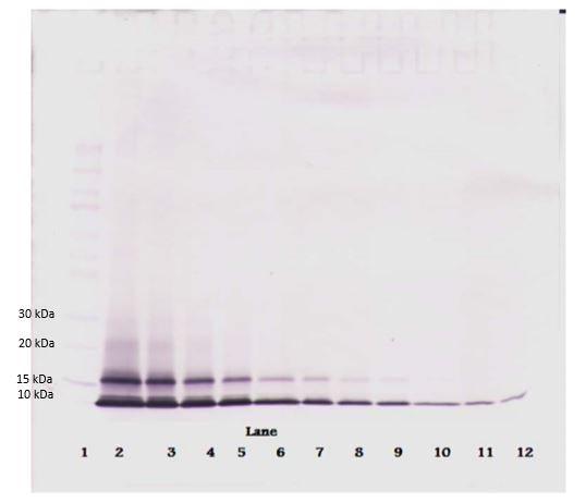 Western blot - Biotin Anti-CXCL1/GRO alpha antibody (ab271204)