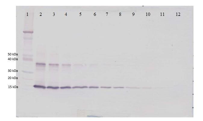 Western blot - Biotin Anti-IL-1 alpha antibody (ab271226)