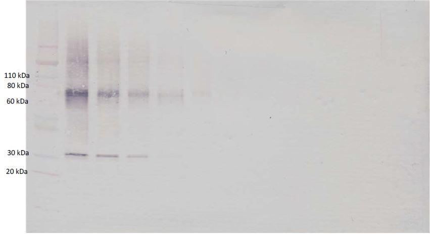Western blot - Biotin Anti-Adiponectin antibody (ab271231)