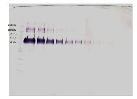 Western blot - Biotin Anti-Klotho antibody (ab271241)