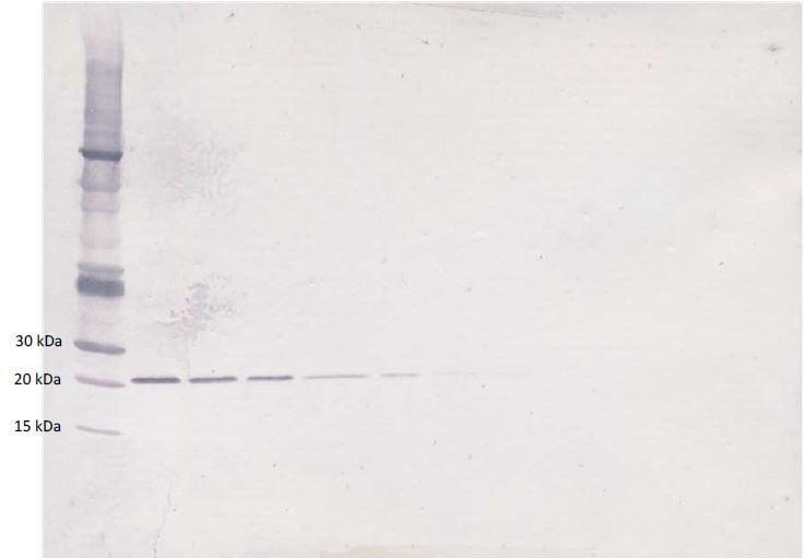 Western blot - Biotin Anti-TGF beta 3 antibody (ab271246)