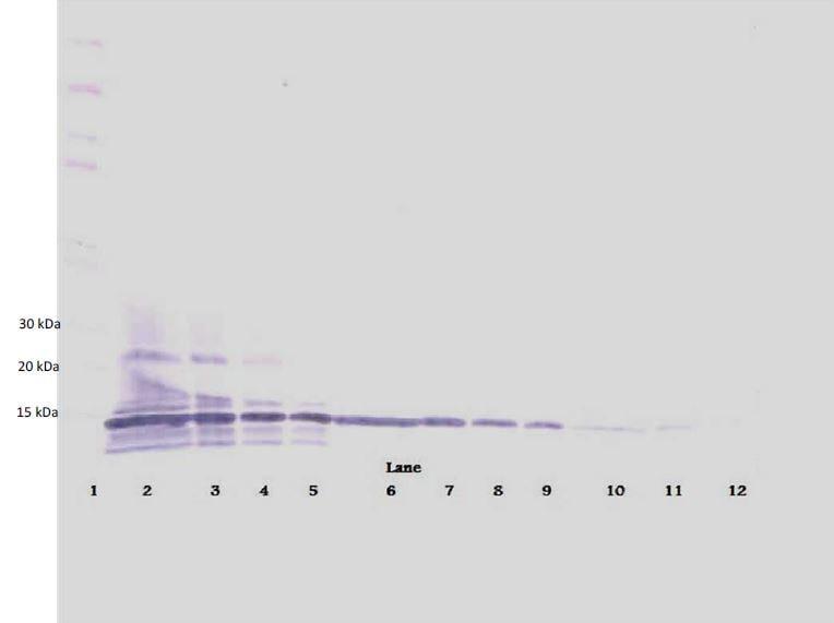 Western blot - Biotin Anti-Lymphotactin/ATAC antibody (ab271254)