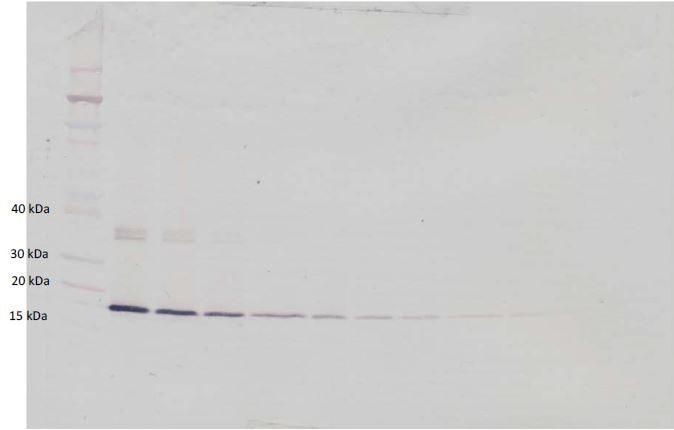 Western blot - Biotin Anti-G-CSF antibody (ab271267)
