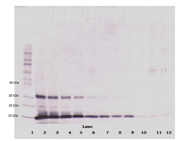 Western blot - Biotin Anti-Leptin antibody (ab271278)