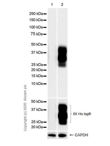 Western blot - Anti-TVA antibody [PICA187E] (ab271292)
