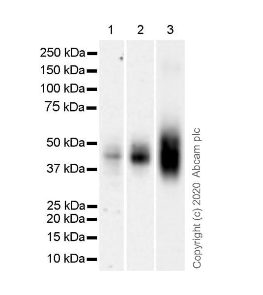 Western blot - Anti-CD63 antibody [KILL150A] - BSA and Azide free (ab271296)