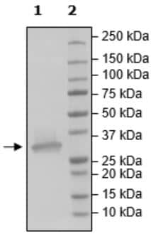 SDS-PAGE - Recombinant Human ALKBH5 protein (Tagged) (ab271361)