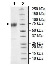 SDS-PAGE - Recombinant mouse CD80 protein (Active) (Biotin) (ab271374)