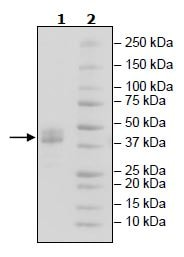 SDS-PAGE - Recombinant Human BAFF-R protein (Tagged) (ab271388)