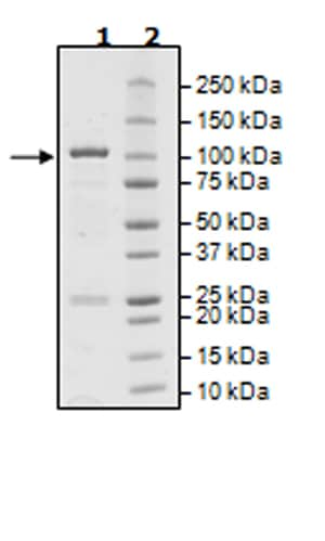 SDS-PAGE - Recombinant Human BMX protein (Tagged) (ab271390)