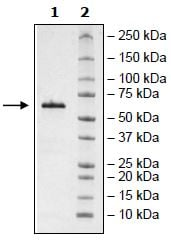 SDS-PAGE - Recombinant Human BTNL8 protein (Tagged) (ab271394)
