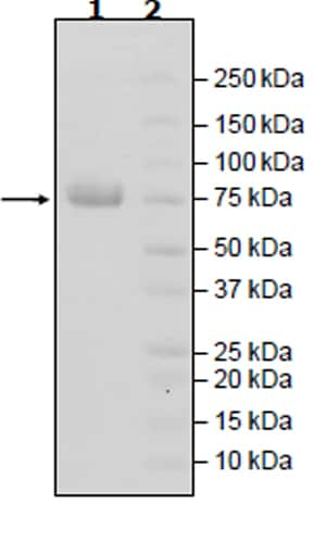 SDS-PAGE - Recombinant Human Nectin 2 protein (Tagged) (Biotin) (ab271399)