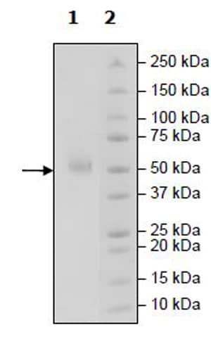 SDS-PAGE - Recombinant Human PVRIG/CD112R protein (Tagged) (Biotin) (ab271403)