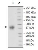 SDS-PAGE - Recombinant Mouse 4-1BBL protein (Tagged) (ab271407)