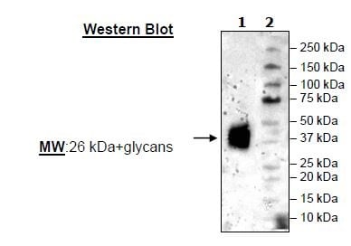 Western blot - Recombinant Mouse 4-1BBL protein (His tag) (ab271407)
