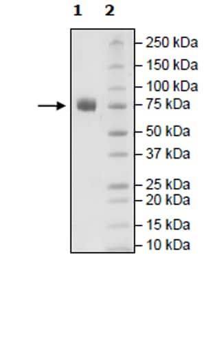 SDS-PAGE - Recombinant Human SLAM / CD150 protein (Tagged) (ab271409)
