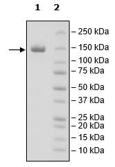 SDS-PAGE - Recombinant Human CD22 protein (Tagged) (Biotin) (ab271414)