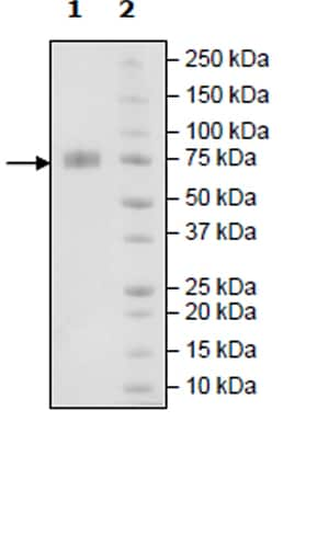 SDS-PAGE - Recombinant Human 2B4 protein (Tagged) (ab271415)