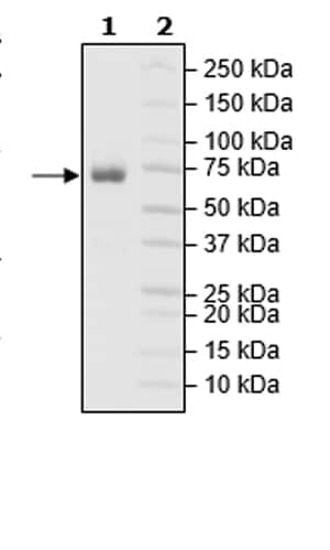 SDS-PAGE - Recombinant Mouse CD27 protein (Tagged) (Biotin) (ab271417)