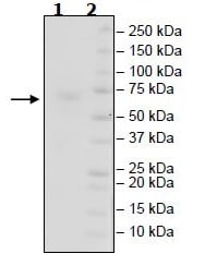 SDS-PAGE - Recombinant Mouse CD27 protein (Tagged) (ab271419)