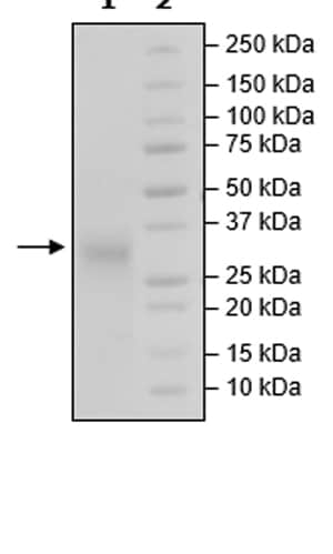 SDS-PAGE - Recombinant Human TMIGD2/IGPR1 protein (Tagged) (ab271425)