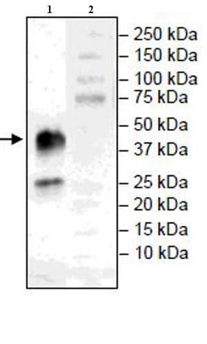 Western blot - Recombinant Mouse CD38 protein (Tagged) (ab271429)