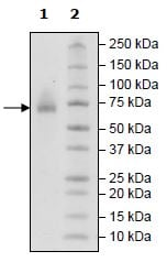 SDS-PAGE - Recombinant human CD48 protein (Active) (Biotin) (ab271441)