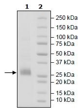 SDS-PAGE - Recombinant Human CD70 protein (Tagged) (Biotin) (ab271443)
