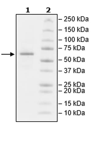 SDS-PAGE - Recombinant Mouse CD73 protein (Tagged) (Biotin) (ab271448)