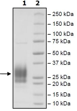 SDS-PAGE - Recombinant Human CD83 protein (Tagged) (Biotin) (ab271451)