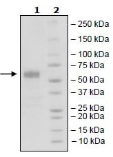 SDS-PAGE - Recombinant Human CD83 protein (Tagged) (ab271452)