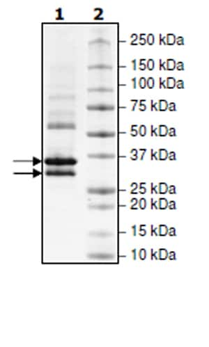 SDS-PAGE - Recombinant Human CDK6 + CCND3 protein (Tagged) (ab271462)