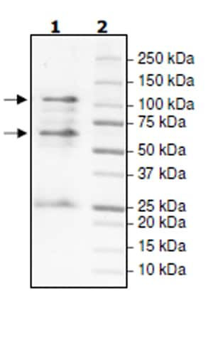 SDS-PAGE - Recombinant Human Cyclin T1 + Cdk9 protein (Tagged) (ab271464)