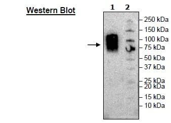 Western blot - Recombinant Human CEACAM1 protein (Tagged) (Biotin) (ab271466)