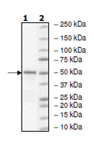SDS-PAGE - Recombinant Human c-Kit protein (Tagged) (ab271470)