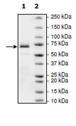 SDS-PAGE - Recombinant Human MAP3K8/COT protein (Tagged) (ab271472)