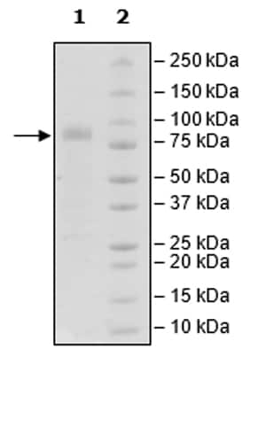 SDS-PAGE - Recombinant Human CRTAM protein (Tagged) (Biotin) (ab271475)