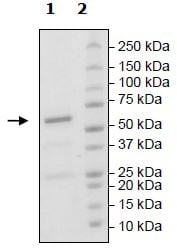 SDS-PAGE - Recombinant mouse DRAK2 protein (Tagged) (ab271491)