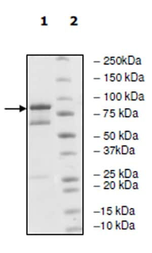 SDS-PAGE - Recombinant human EGFR (mutated L858R) protein (Active) (ab271492)