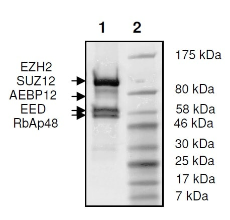 SDS-PAGE - Recombinant Human RBBP4 + EED + SUZ12 + AEBP2 + EZH2 (mutated E740K) protein (Tagged) (ab271501)