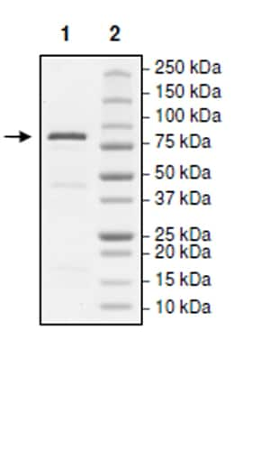 SDS-PAGE - Recombinant human KDM2A protein (Active) (ab271507)