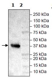 Western blot - Recombinant Human FGFR3 protein (Tagged) (ab271514)