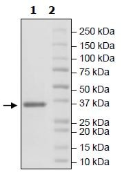 SDS-PAGE - Recombinant Human FGFR3 (mutated V443M) protein (His tag) (ab271516)