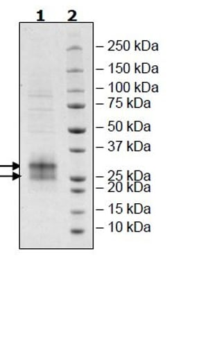 SDS-PAGE - Recombinant Human FNDC5 protein (Tagged) (Biotin) (ab271523)