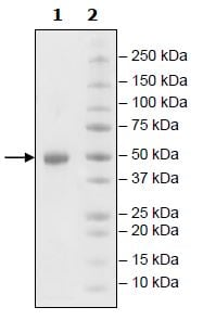 SDS-PAGE - Recombinant human GITR protein (Active) (Biotin) (ab271528)