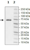 SDS-PAGE - Recombinant human MAP4K1/HPK1 protein (Active) (ab271538)