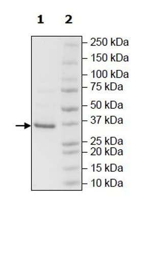 SDS-PAGE - Recombinant Human HSD17B13 protein (Tagged) (ab271539)