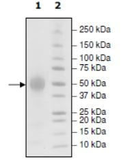 SDS-PAGE - Recombinant Human CD46 protein (His tag) (ab271543)