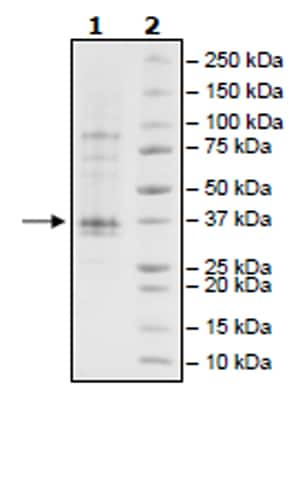 SDS-PAGE - Recombinant Human JAK2 (mutated V617F) protein (Tagged) (Biotin) (ab271562)